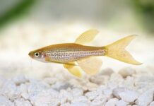 poisson Brachydanio frankei