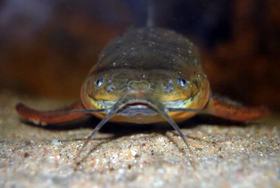 poisson Callichthys callichthys