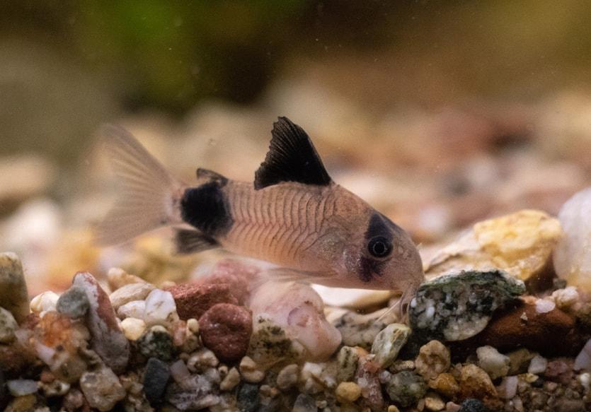 poisson Corydoras panda