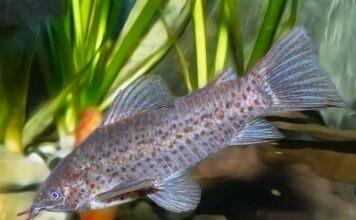 poisson Dianema longibarbis