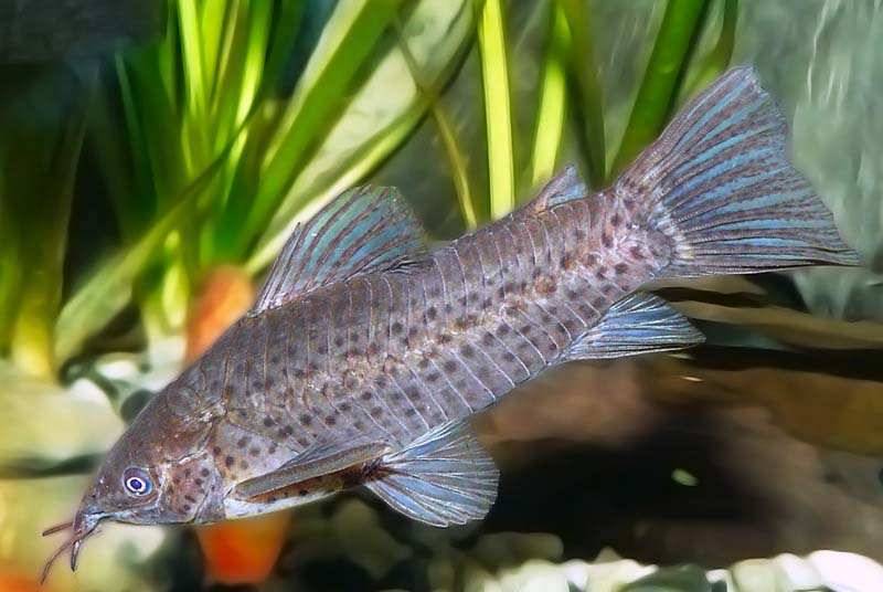 poisson Dianema longibarbis