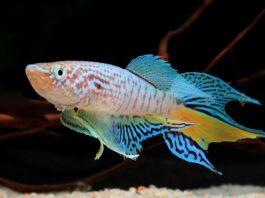 poisson Fundulopanchax sjoestedti