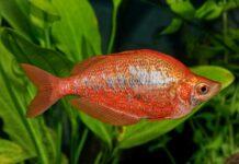poisson Glossolepis incisus