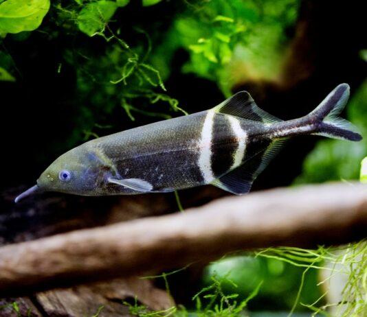 poisson Gnathonemus petersii