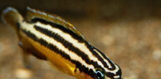 poisson Julidochromis regani