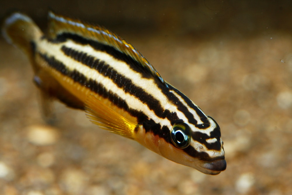 poisson Julidochromis regani