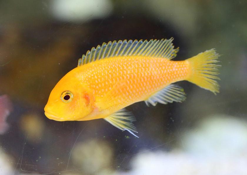 poisson Labidochromis caeruleus