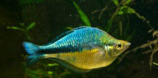 poisson Melanotaenia lacustris