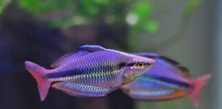 poisson Melanotaenia trifasciata