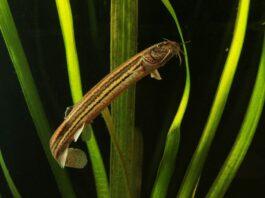 poisson Misgurnus fossilis