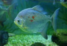 poisson Myloplus rubripinnis
