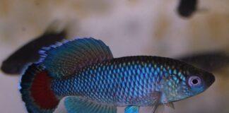 poisson Nothobranchius jubbi