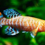poisson Nothobranchius rachovii