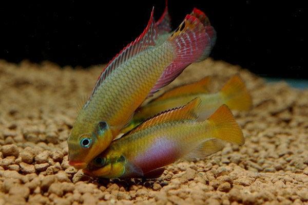 poisson Pelvicachromis taeniatus