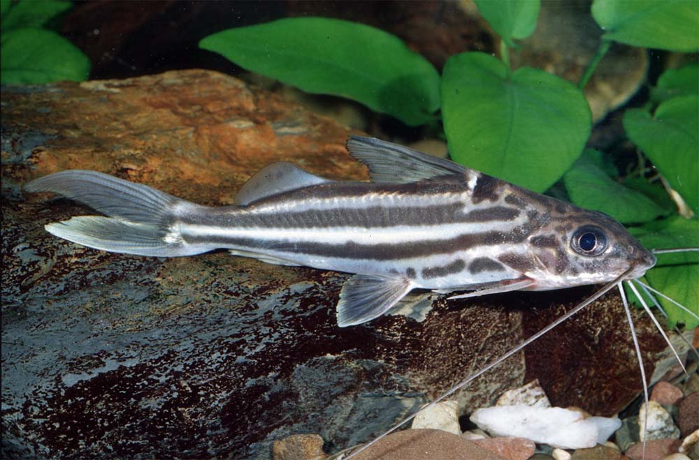 poisson Pimelodus albofasciatus