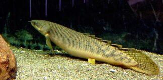 poisson Polypterus palmas