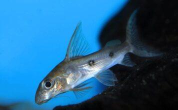 poisson Synodontis congicus