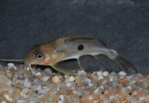 poisson Synodontis notatus