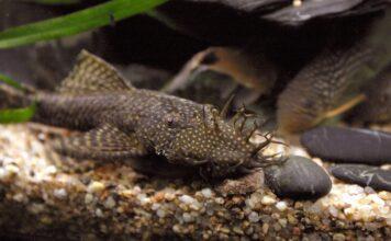 poisson Ancistrus temminckii