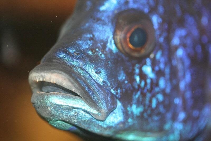 Fiche du poisson Copadichromis azureus