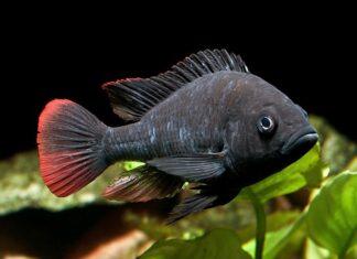 Haplochromis nubilus