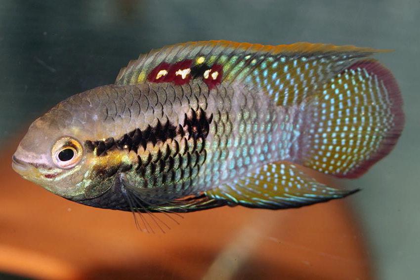 Laetacara curviceps