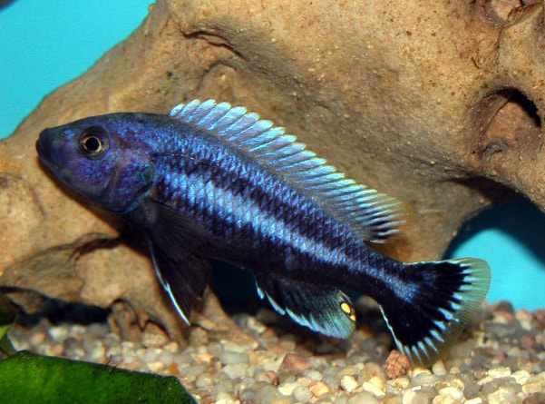 Male Melanochromis chipokae
