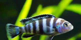 Maylandia zebra