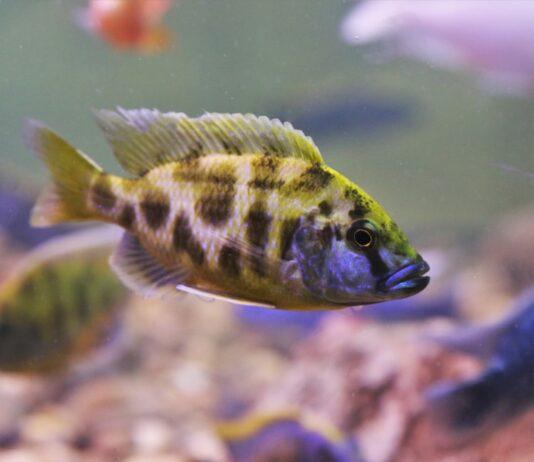 Nimbochromis livingstonii cichlidé