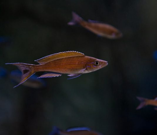 Paracyprichromis brieni