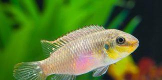 Pelvicachromis subocellatus