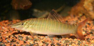 Syncrossus hymenophysa