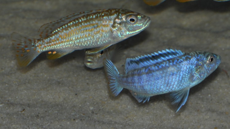 couple Melanochromis joanjohnsonae