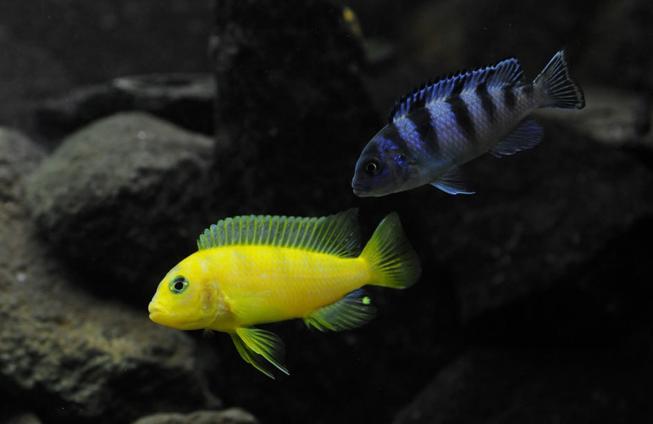 Couple poisson Maylandia lombardoi