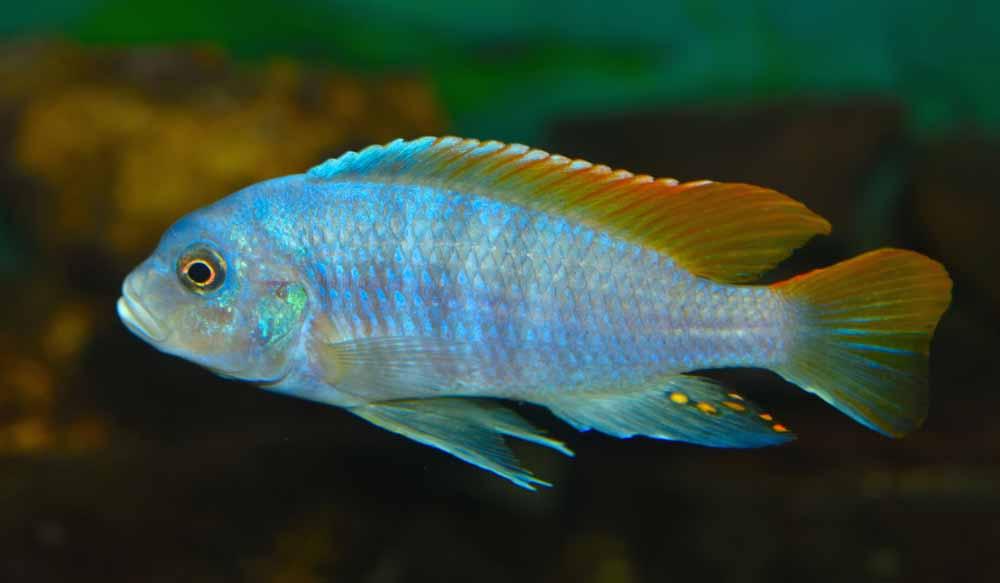 femelle poisson Placidochromis electra