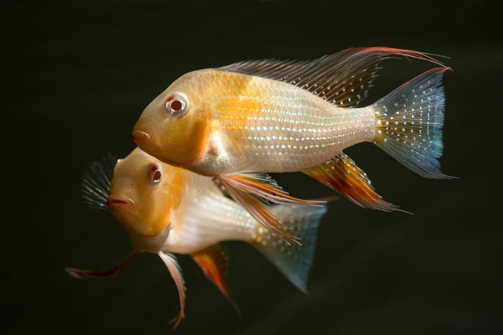 poisson Acarichthys heckelii
