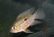 poisson Acaronia nassa