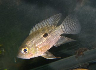 poisson Acaronia nassa