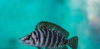 poisson Altolamprologus calvus