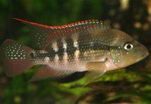 poisson Amphilophus alfari (2)