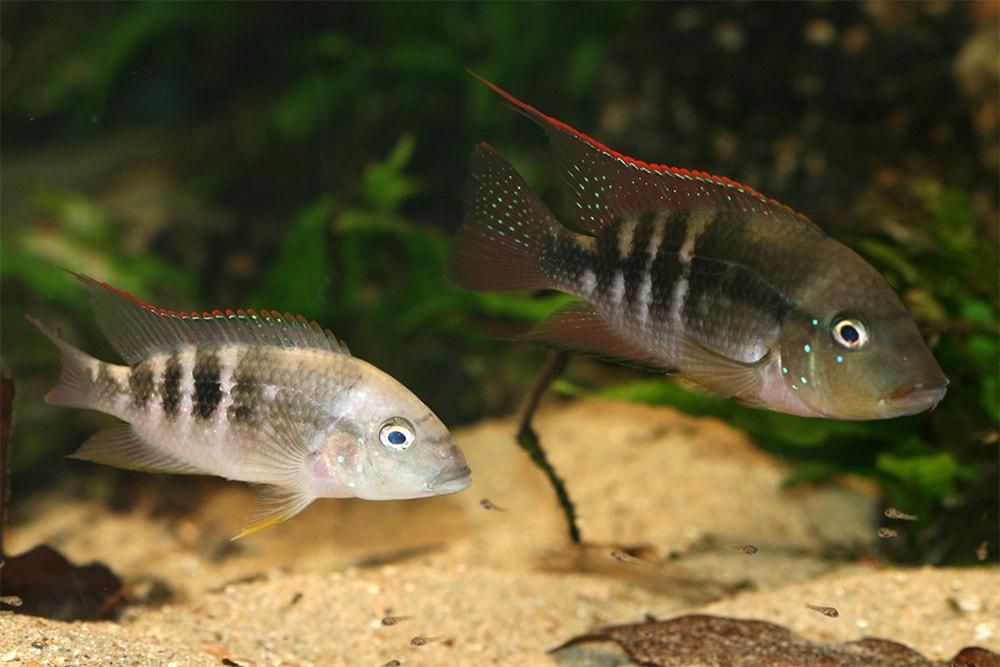 poisson Amphilophus alfari