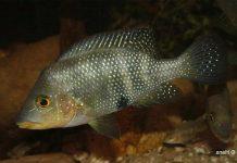 poisson Amphilophus altifrons (2)