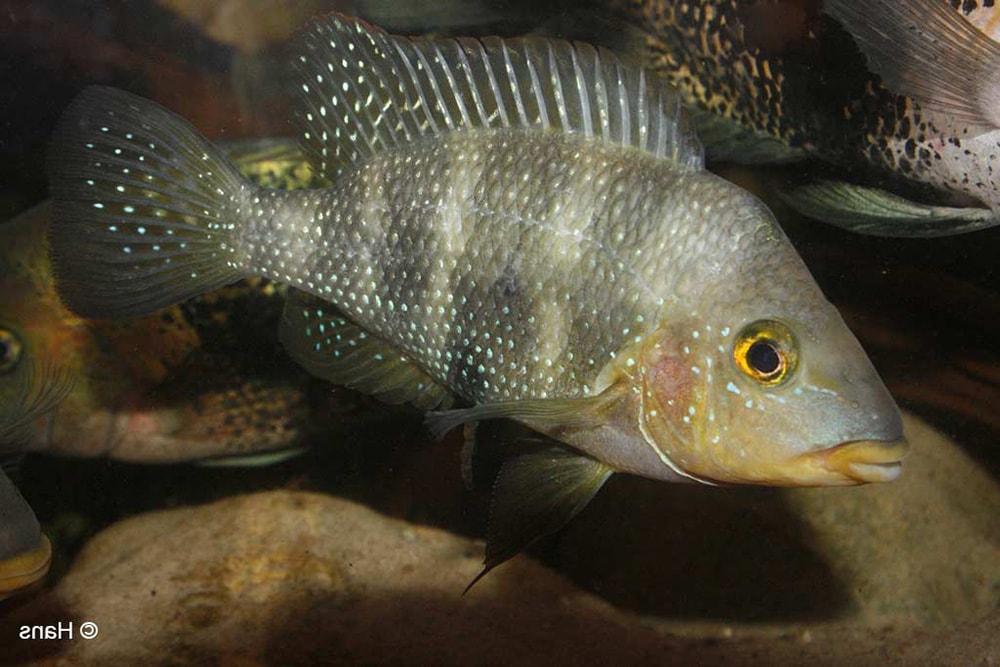 poisson Amphilophus altifrons