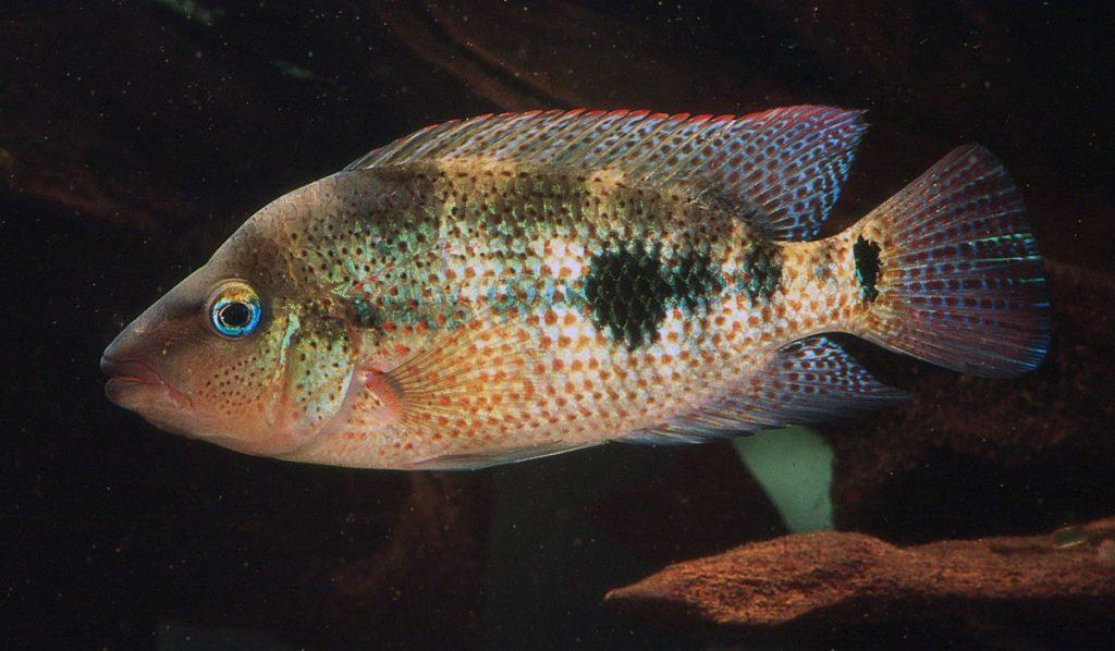 poisson Amphilophus calobrensis