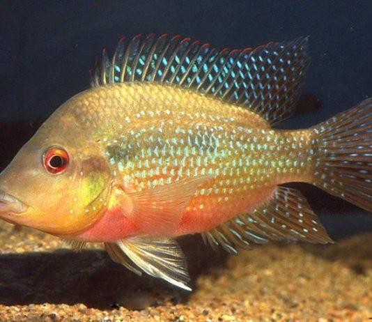 poisson Amphilophus longimanus