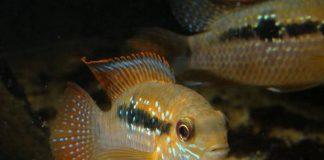 poisson Andinoacara sapayensis