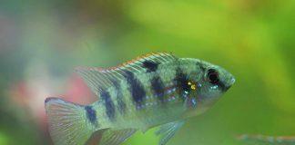 poisson Anomalohromis thomasi