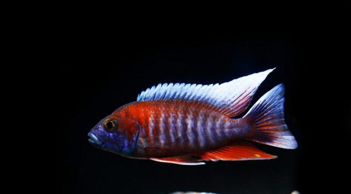 poisson Aulonocara jacobfreibergi