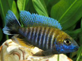 poisson Aulonocara nyassae Cichlidé paon