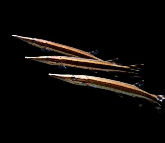 poisson Boulengerella lateristriga (2)